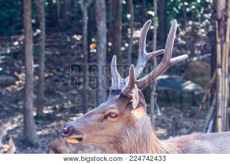Antler Of Mule Deer Buck (odocoileus Hemionus) With Velvet Antler Staring From The Woods.