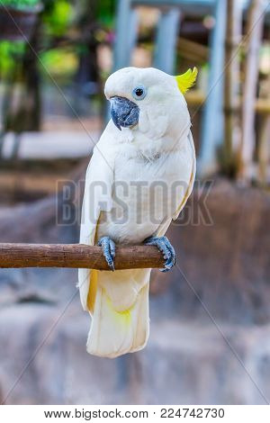 Yellow-crested Cockatoo In The Park With Nature Background