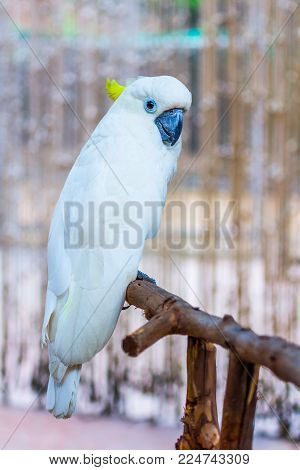 Head Of Yellow-crested Cockatoo In The Park