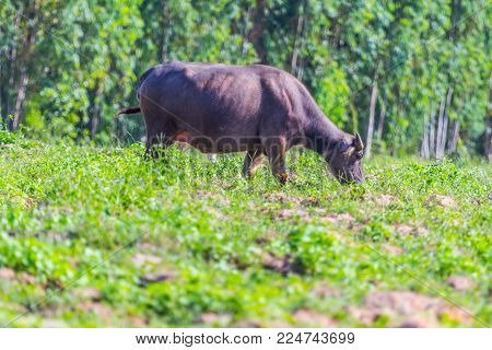 Buffalo Eating Green Grass With Nature Background