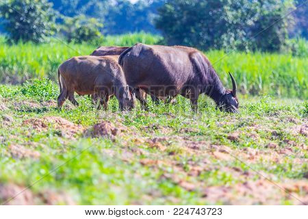 Buffalo Eating Grass Use For Nature Background