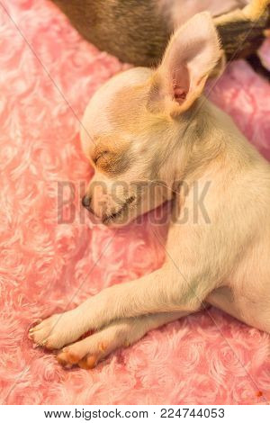 Lovely Baby Chihuahua Taking A Nap Nature Background