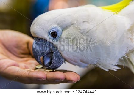 Yellow-crested Cockatoo (cacatua Sulphurea)  Eating By Hand