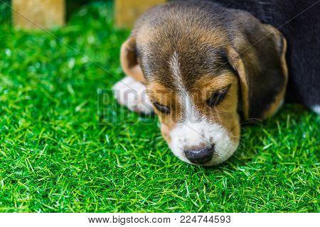 Baby Beagle Dog Lying On The Floor