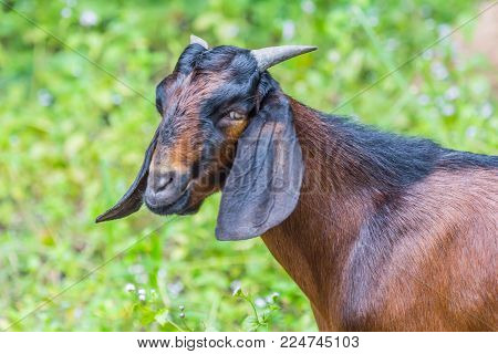 Face Of Goat On Summer Pasture In Morning Light