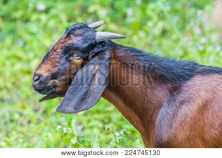 Goat On Summer Pasture In Morning Light