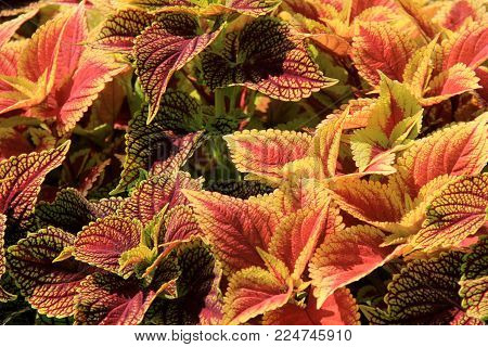 Gorgeous image of bright and colorful coleus plants, a favorite ground cover  of gardeners everywhere.