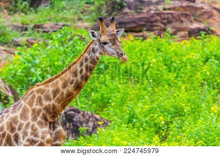 Face Masai Giraffe Peaks Around Bush Nature Background