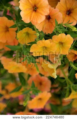 Beautiful Image Of Cascading Yellow Petunias In Hanging Pot.