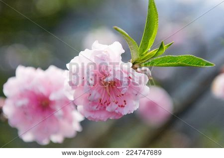 Apricot tree flowers with soft focus. Spring flowers on a tree branch. Apricot tree in bloom. Spring, seasons, white flowers of apricot tree close-up.