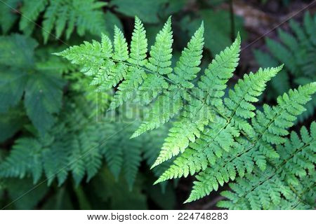 Horizontal; Image Of Lush Green Ferns Out In Woodsy Setting.