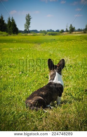 Welsh Cardigan Corgi Dog Lying In The Grass