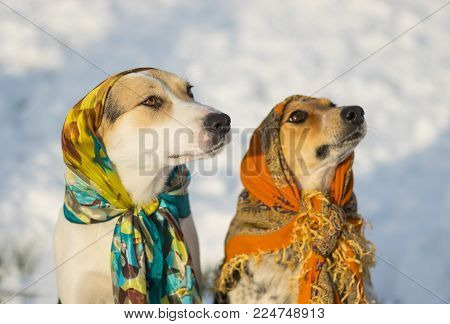 Outdoor portrait of two mixed-breed dog wearing shawl sitting on a snow at sunny winter day