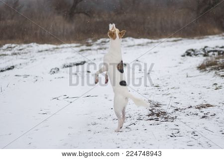 White mixed-breed dog dancing on hind leg enjoying with first snow coming in nature at this winter season