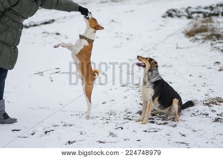 Basenji dog jumping up for to get some food from master's hand while playing outdoor at winter season