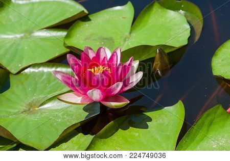 Nymphaea aquatic plant at flowering time in small artificial pond