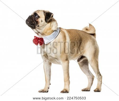 Pug in red bow tie looking up against white background