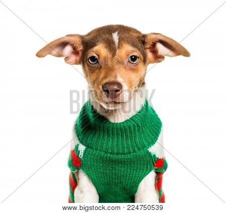 Jack Russell Terrier in green sweater against white background