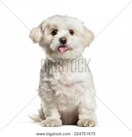 White mixed breed dog panting against white background