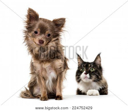 Mixed breed dog watched by Maine Coon cat against white background