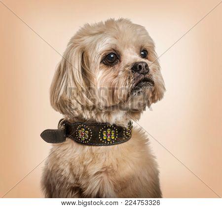 Shih Tzu in collar looking away against beige background