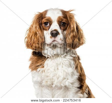 Cavalier King Charles Spaniel against white background