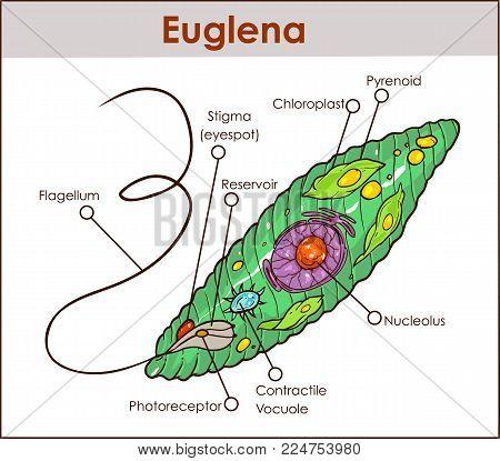 Vector Euglena Cross Vector Photo Free Trial Bigstock