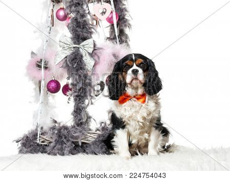 Cavalier King Charles Spaniel sitting next to Christmas decoration against white background