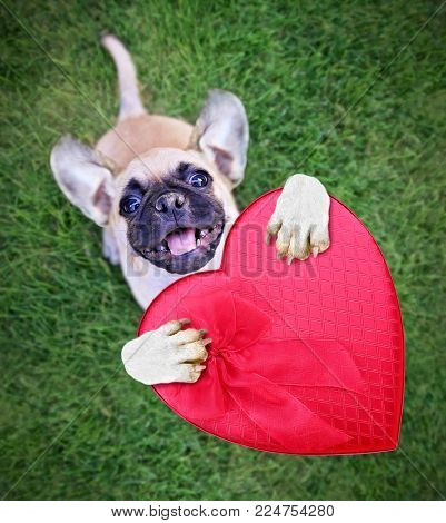 cute chihuahua pug mix puppy holding a red heart shaped box of chocolates for valentine's day isolated outside in fresh green grass