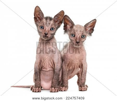 Kitten Lykoi kittens, 7 weeks old, also called the Werewolf cat sitting together against white background