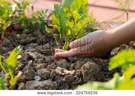 young shoots of red beets in the morning in the garden and the hands of the child caring for the plant. spring works in the garden.