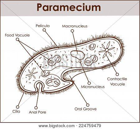 black and white The structure of Paramecium saudatum