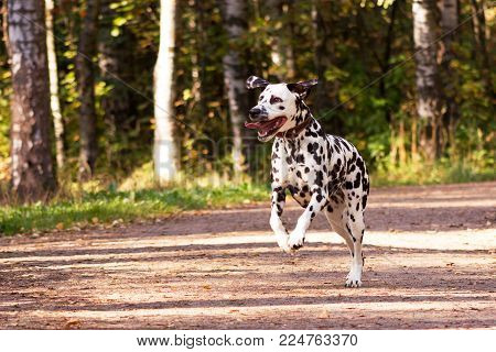 Dalmatian In Forest