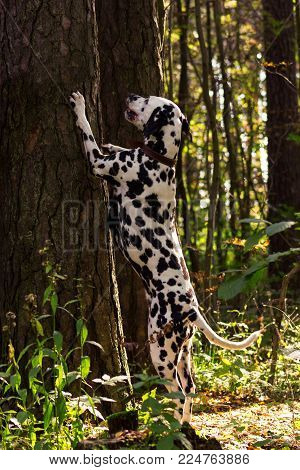Young dalmatian stand on back paws and put  front paws at the tree and looking on it at sunny day