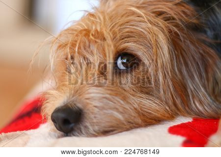 A Hairy Terrier Type Dog Resting With A Wary Eye Out