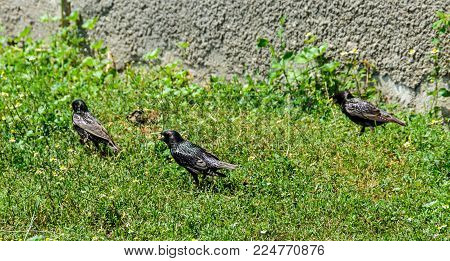 The Common Starling (sturnus Vulgaris), Also Known As The European Starling With Yellow Beak In Gree