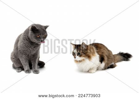 cats isolated on white background. horizontal photo.