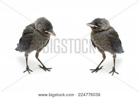 bird gray jackdaw isolated on white background. horizontal photo.