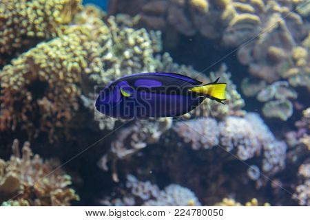 Beautiful Paracanthurus Hepatus inside Aquarium: Indo-Pacific Surgeonfish