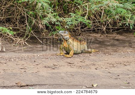 Bright colored male green iguana (Iguana iguana) or the American iguana, staying on the ground for greater warmth during cold, wet weather in  Tortuguero National Park, Costa Rica