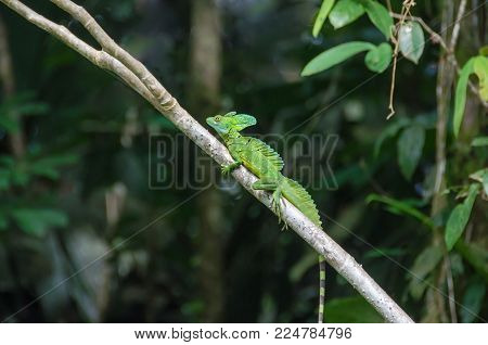 Male Plumed basilisk (Basiliscus plumifrons), also known as green basilisk, double crested basilisk, or Jesus Christ lizard, with its three crests, bright yellow eyes and small bluish spots on a tree in Tortuguero National Park, Costa Rica