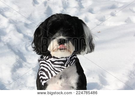 funny black and white dog sticking out her tongue and wearing a bandana