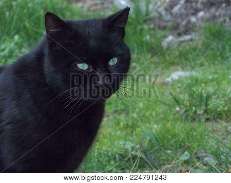 black-haired blue-eyed cat on the street.cat animal. Cat animal.