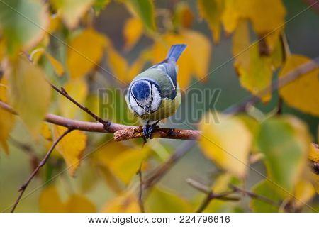 titmouse on a branch of a yellow autumn birch closeup