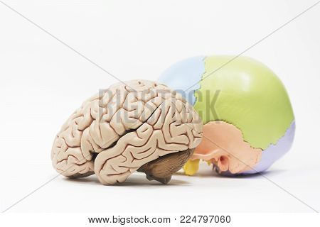 Side view of artificial human brain and skull model on white background