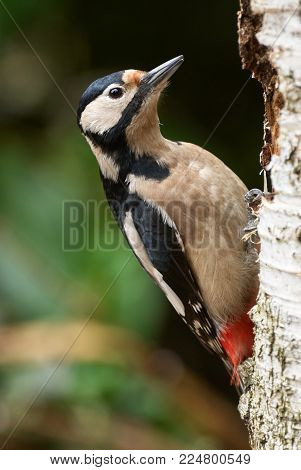 Great spotted Woodpecker perched on a birch branch