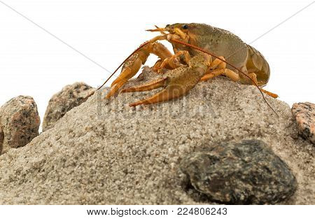 Alive crayfish on the heap of stones and sand