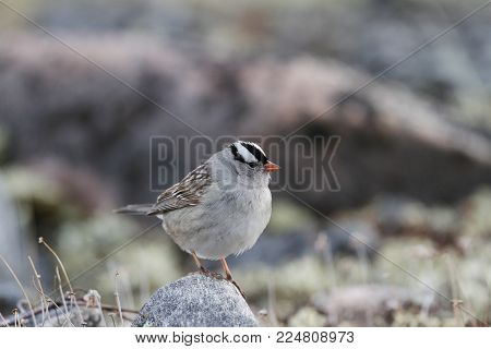 Close-up Of A White-crowned Sparrow, Zonotrichia Leucophrys, Sitting On A Rock, Near Arviat, Nunavut