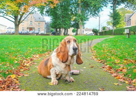 Dog, basset hound sitting in public parc of village withg background green filed and leafe fall down, big tree with leave change color in autumn and amout of car in front of city hall.