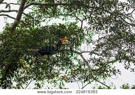 A rhinoceros bird (a rhinoceros bird), eat fruit, sitting on a tree branch. Borneo.  .